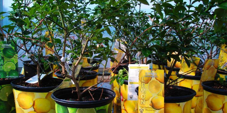 Riverside-Greenhouses-Allamuchy-NJ-Citrus-Plants