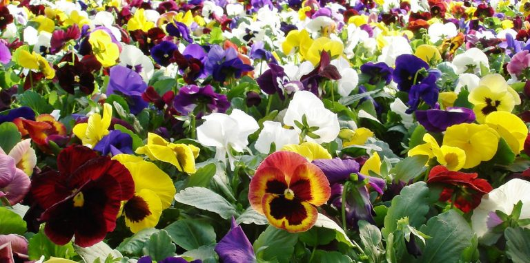Riverside-Greenhouses-Allamuchy-NJ-Spring-Pansies