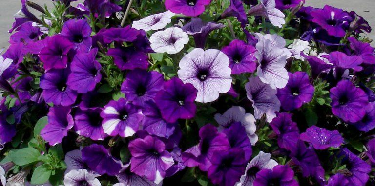 Riverside-Greenhouses-Allamuchy-NJ-Spring-Petunias-Plants