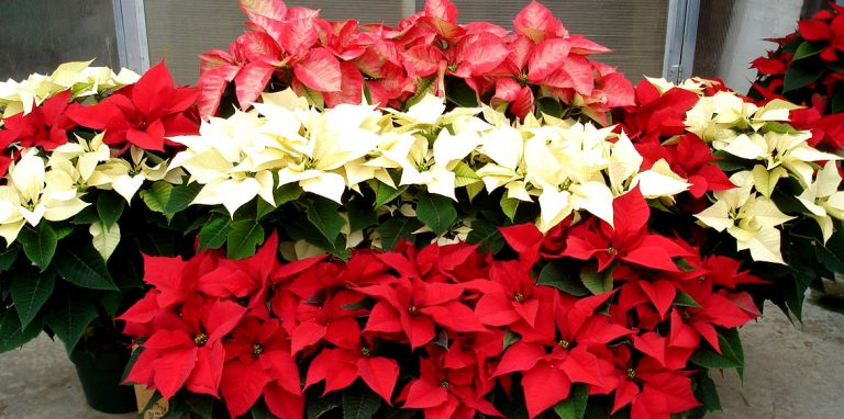 Riverside-Greenhouses-Allamuchy-NJ-Winter-Poinsettias-02