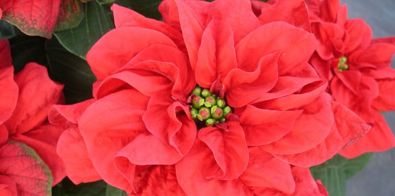 Riverside-Greenhouses-Allamuchy-NJ-Winter-Poinsettias-03
