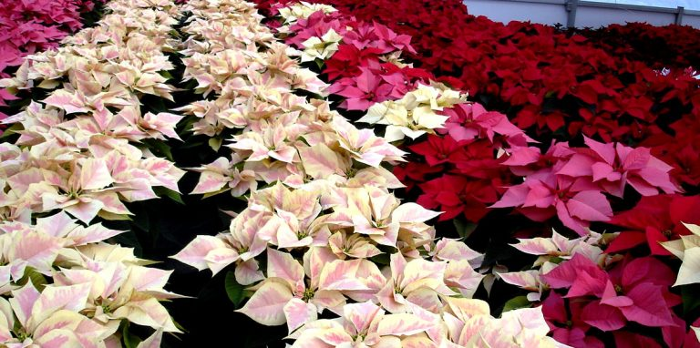 Riverside-Greenhouses-Allamuchy-NJ-Winter-Poinsettias-04