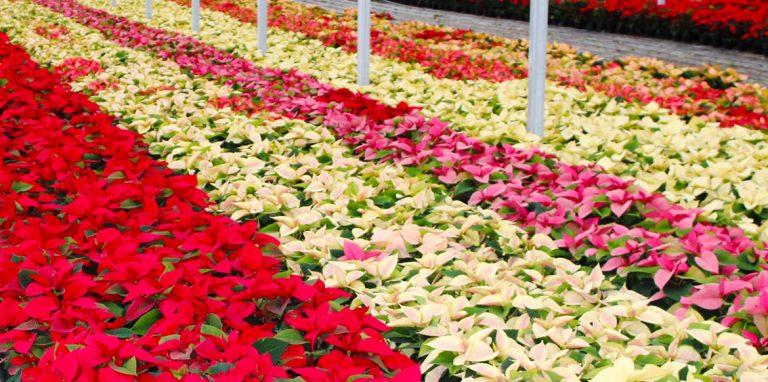 Riverside-Greenhouses-Allamuchy-NJ-Winter-Poinsettias-05