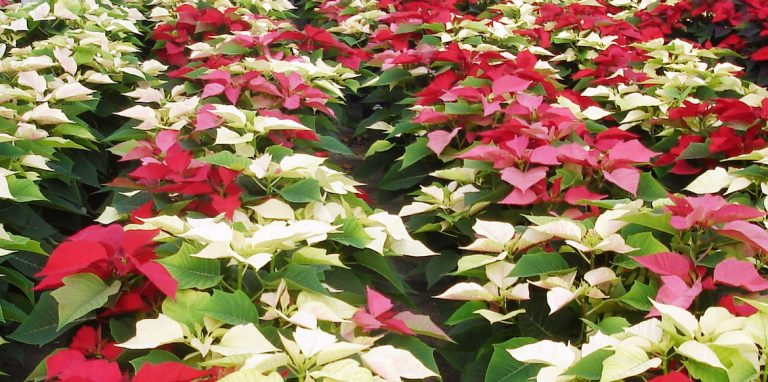 Riverside-Greenhouses-Allamuchy-NJ-Winter-Poinsettias-06