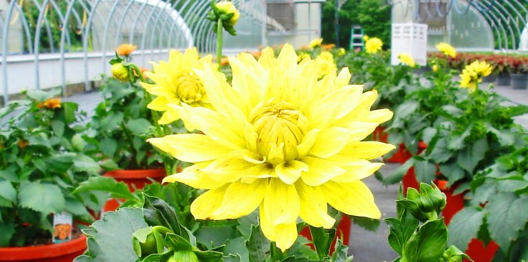 Riverside-Greenhouses-Allamuchy-NJ-Summer-Dahlia
