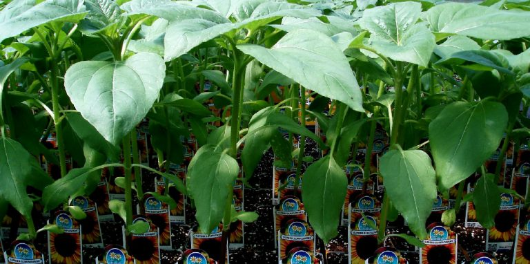 Riverside-Greenhouses-Allamuchy-NJ-Summer-superb-sunflowers