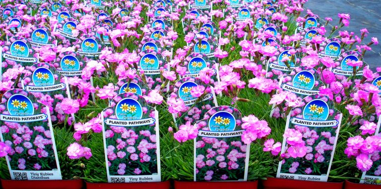 riverside-greenhouses-allamuchy-new-jersey-annuals-mums-young-plants-fuschia-dianthus-04