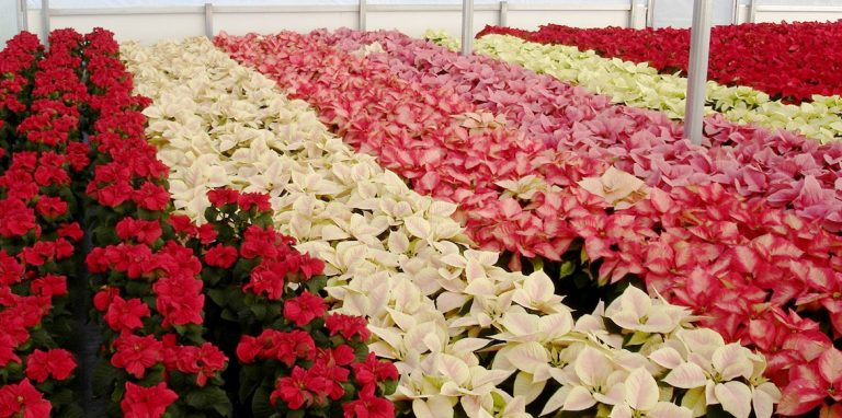 Riverside-Greenhouses-Allamuchy-NJ-Poinsettias
