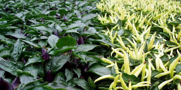 Riverside-Greenhouses-Allamuchy-NJ-Ornamental Peppers