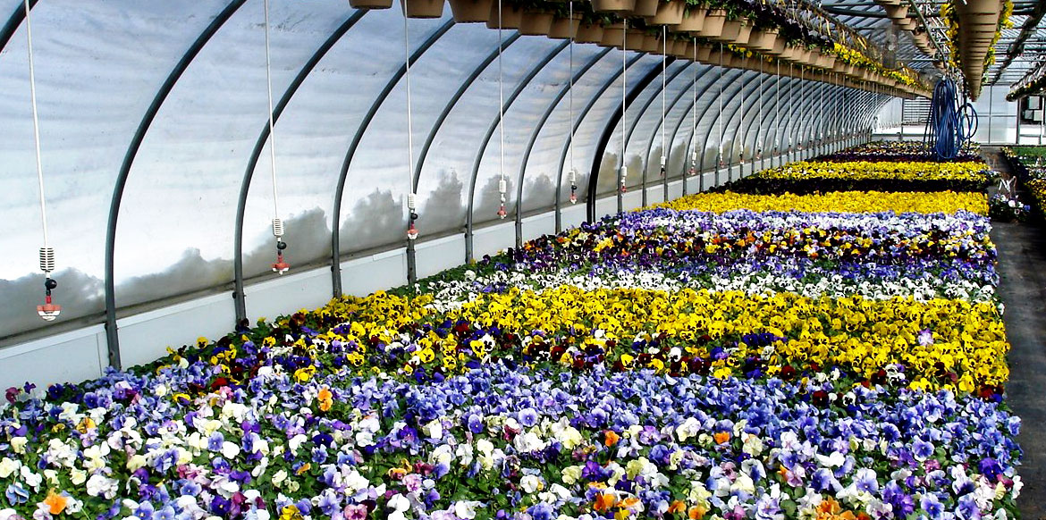 riverside-greenhouses-pansies-annuals-allamuchy-new-jersey