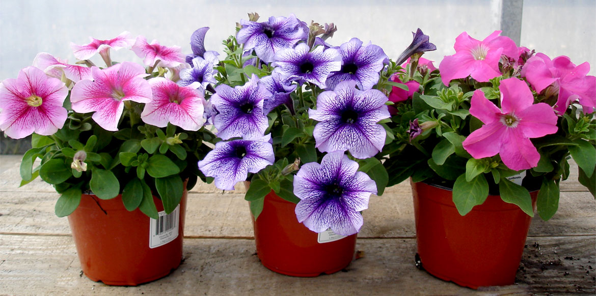 riverside-greenhouses-spring-availability