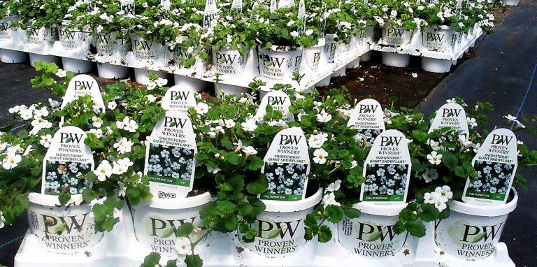 Riverside-Greenhouses-Allamuchy-NJ-ProvenWinners-Bacopa
