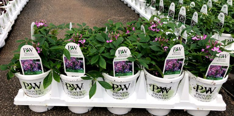 Riverside-Greenhouses-Allamuchy-NJ-ProvenWinners-Cleome