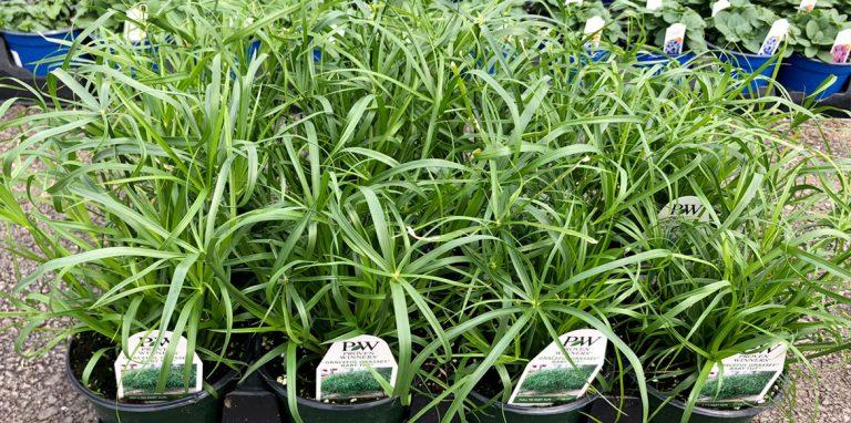 Riverside-Greenhouses-Allamuchy-NJ-ProvenWinners-Grasses