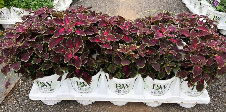 riverside-growers-allamuchy-nj-proven-winners-pw-08