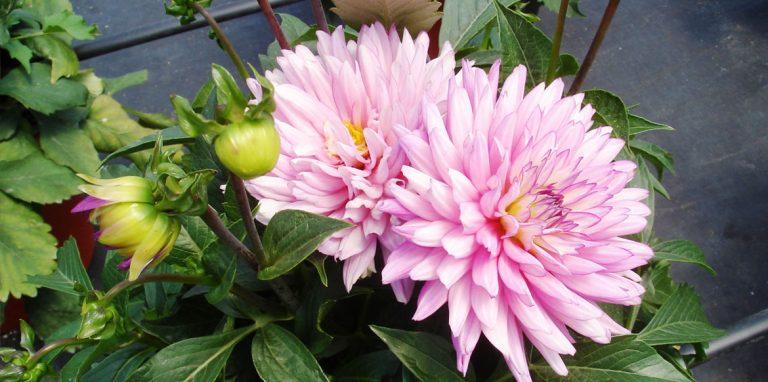 Riverside-Greenhouses-Allamuchy-NJ-ProvenWinners-Dahlia