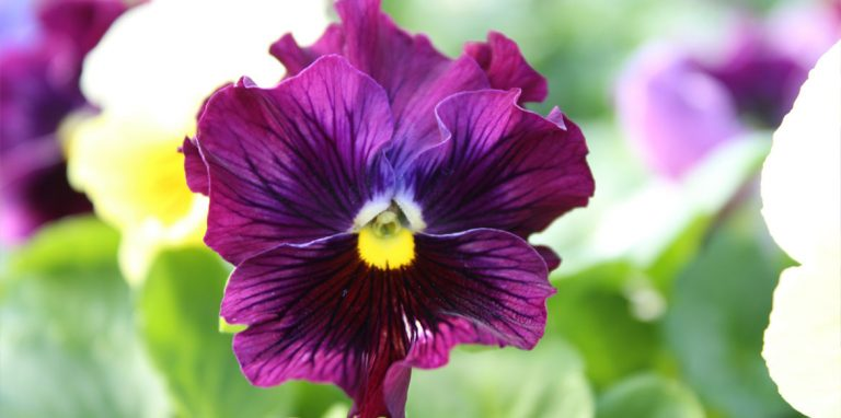 Riverside-Greenhouses-Allamuchy-NJ-Pansies