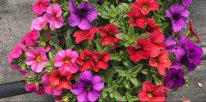 Riverside-Greenhouses-Allamuchy-NJ-Summer-Calibrachoa