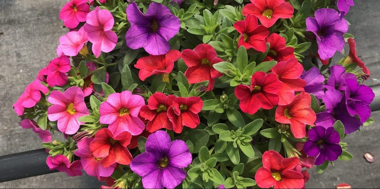 Riverside-Greenhouses-Allamuchy-NJ-Summer-Calibrachoa