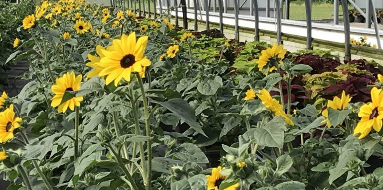 Riverside-Greenhouses-Allamuchy-NJ-Sunflowers
