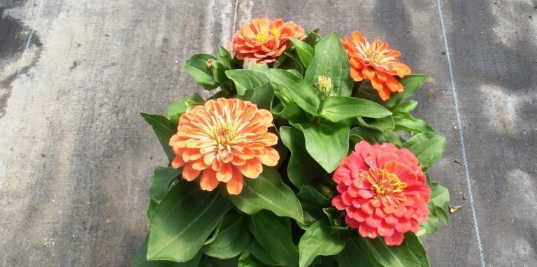 Riverside-Greenhouse-Allamuchy-NJ-Summer-Zinnia