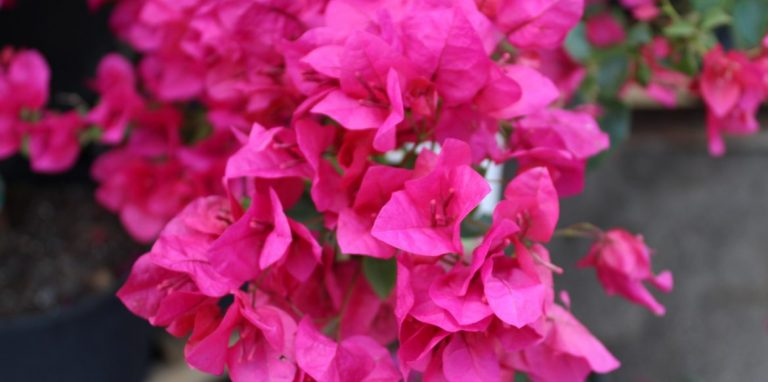 Riverside-Greenhouses-Allamuchy-NJ-Tropicals-Bougainvillea