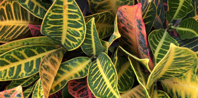 Riverside-Greenhouses-Allamuchy-NJ-Crotons