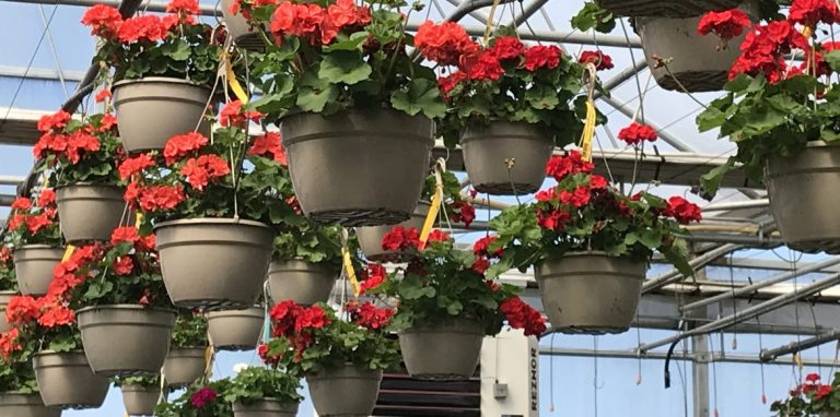 Riverside-Greenhouses-Allamuchy-NJ-Geraniums HB