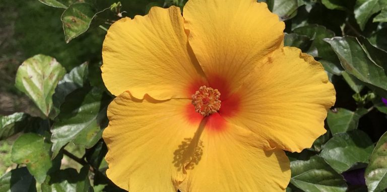 Riverside-Greenhouses-Allamuchy-NJ-Hibiscus