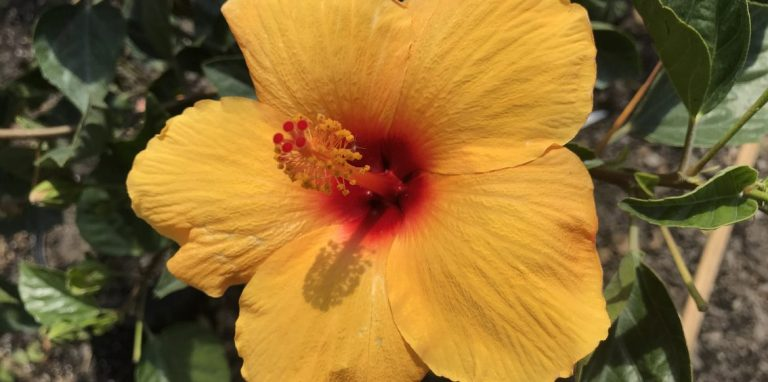 Riverside-Greenhouses-Allamuchy-NJ-Tropicals-Hibiscus