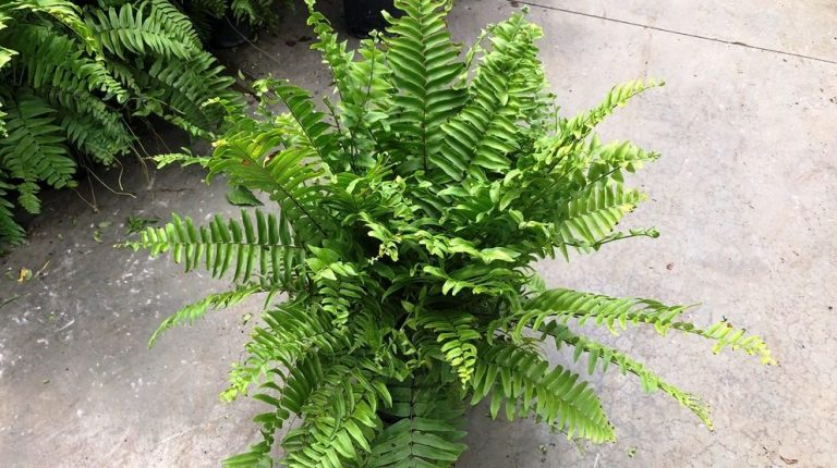 Riverside-Greenhouses-Allamuchy-NJ-Macho Fern