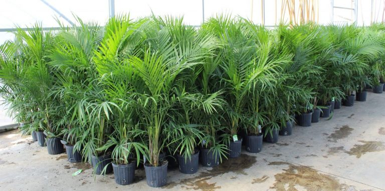 Riverside-Greenhouses-Allamuchy-NJ-Tropicals-Majesty Palms