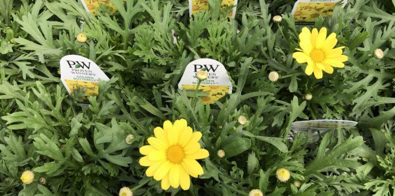 Riverside-Greenhouses-Allamuchy-NJ-Proven Winners-Argyranthemum