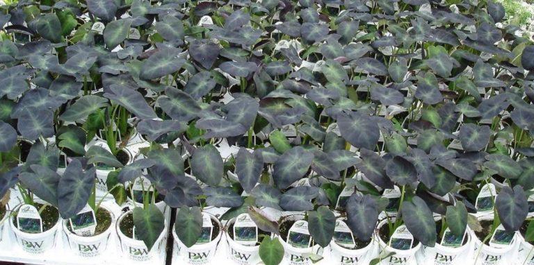 Riverside-Greenhouses-Allamuchy-NJ-Proven Winners-Colocasia