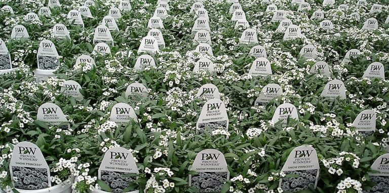 Riverside-Greenhouses-Allamuchy-NJ-Proven Winners-Lobelia