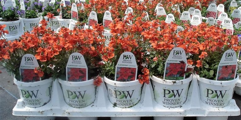 Riverside-Greenhouses-Allamuchy-NJ-Proven Winners-Nemesia