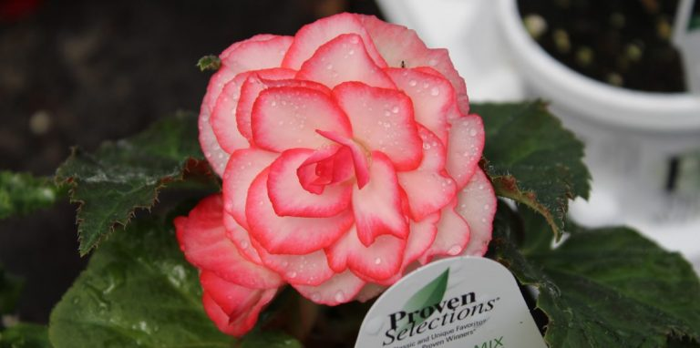 Riverside-Greenhouses-Allamuchy-NJ-Proven Winners-Nonstop Begonia