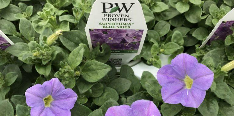 Riverside-Greenhouses-Allamuchy-NJ-Proven Winners-Petunia