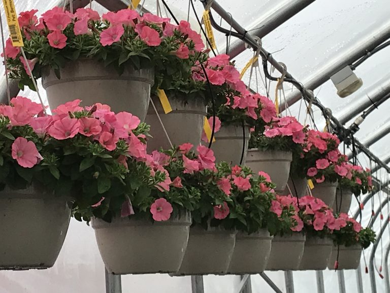 "Riverside-Greenhouses-Allumuchy-NJ-Spring-11"" Petunia HB"