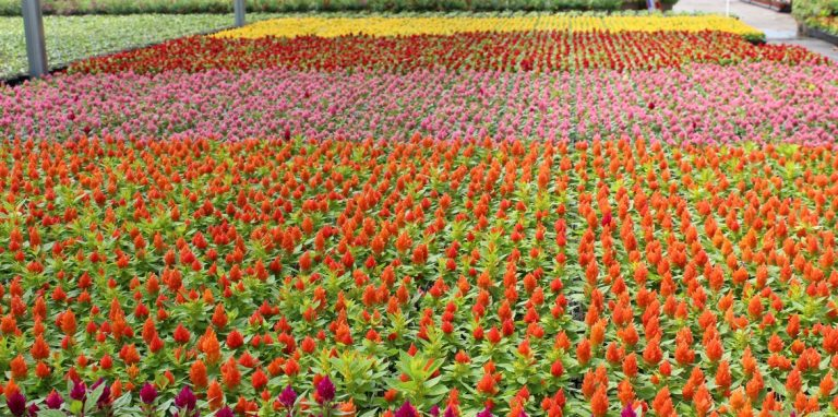 Riverside-Greenhouses-Allamuchy-NJ-Spring-Celosia