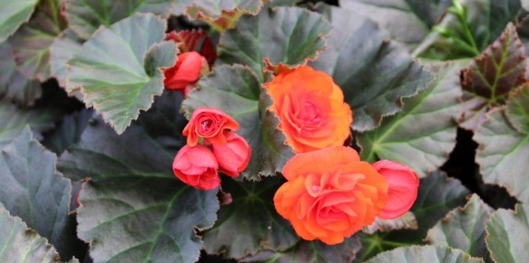 Riverside-Greenhouses-Allamuchy-NJ-Spring-Iconia Begonias