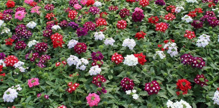 Riverside-Greenhouses-Allamuchy-NJ-Spring-Verbena