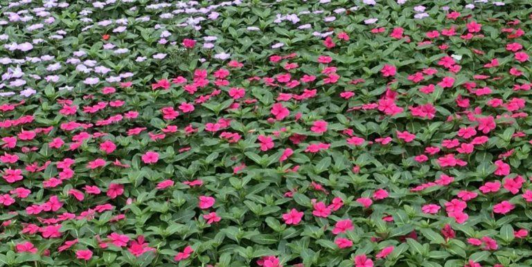 Riverside-Greenhouses-Allamuchy-NJ-Spring-Vinca