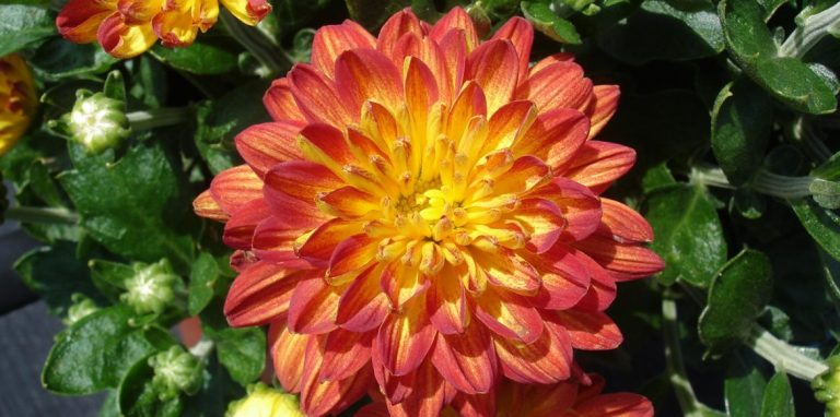 Riverside-Greenhouses-Allumuchy-NJ-Fall-9inch Mum-2