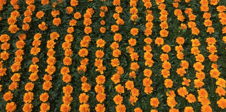 Riverside-Greenhouses-Allamuchy-NJ-Spring-Marigolds