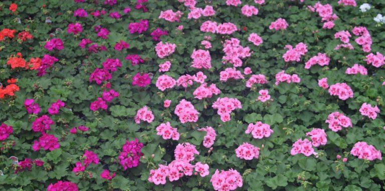 Riverside-Greenhouses-Allamuchy-NJ-Spring-Geranium