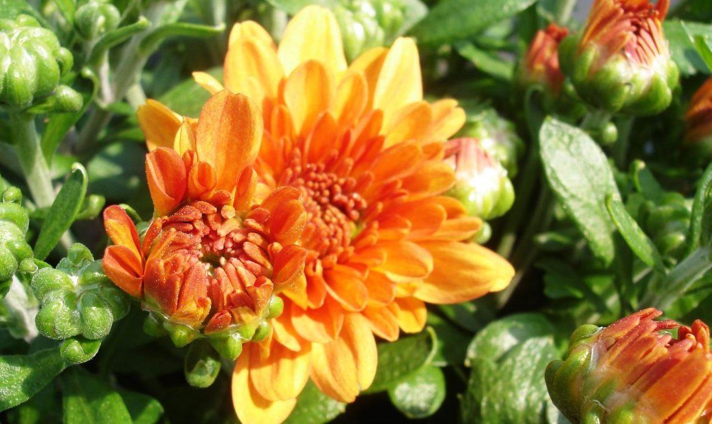 Riverside-Greenhouses-Allumuchy-NJ-Fall-Mums