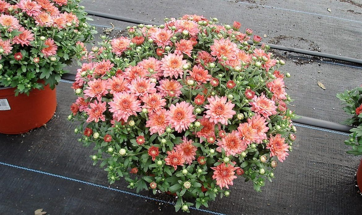 Riverside-Greenhouses-Allumuchy-NJ-Fall-Mums