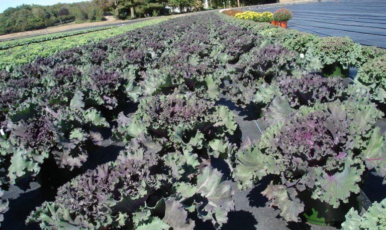 Riverside-Greenhouses-Allamuchy-NJ-Kale