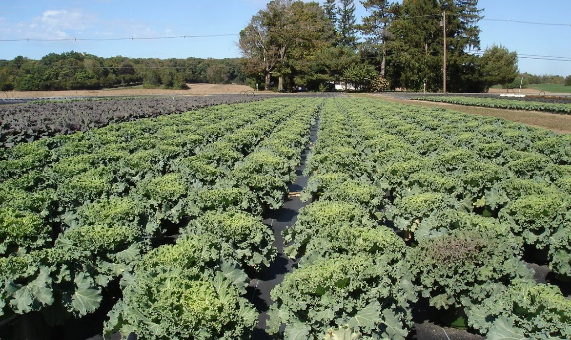 Riverside-Greenhouses-Allumuchy-NJ-Cabbage